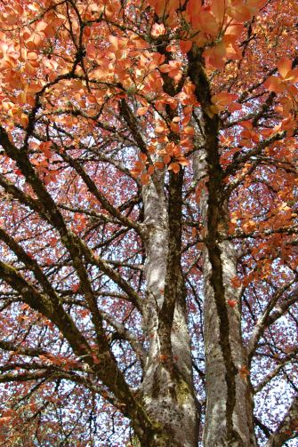 Pretty trees at the University of Oregon