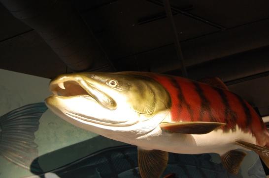 Sabretoothed Salmon